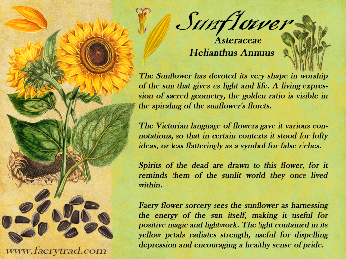 SUNFLOWER: Asteraceae; Helianthus Annus - The Sunflower has devoted its very shape in worship of the sun that gives us light and life. A living expression of sacred geometry, the golden ratio is visible in the spiraling of the sunflower's florets. The Victorian language of flowers gave it various connotations, so that in certain contexts it stood for lofty ideas, or less flatteringly as a symbol for false riches. Spirits of the dead are drawn to this flower, for it reminds them of the sunlit world they once lived within. Faery flower sorcery sees the sunflower as harnessing the energy of the sun itself, making it useful for positive magic and lightwork. The light contained in its yellow petals radiates strength, useful for dispelling depression and encouraging a healthy sense of pride.